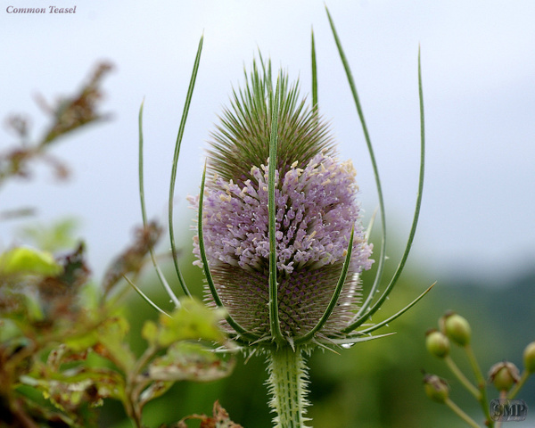 SMP-0100_Common_Teasel by StevePettit
