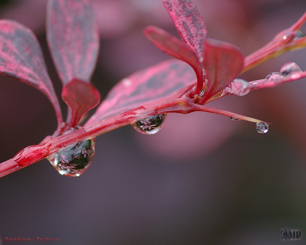 SMP-0062_Raindrop-Bayberry by StevePettit