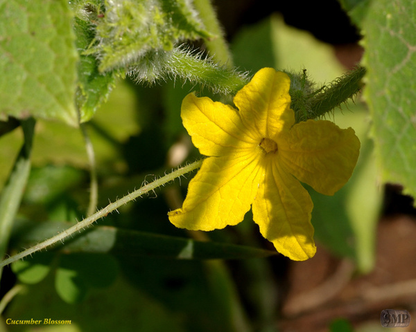 SMP-0068_Blossom-Cucumber by StevePettit
