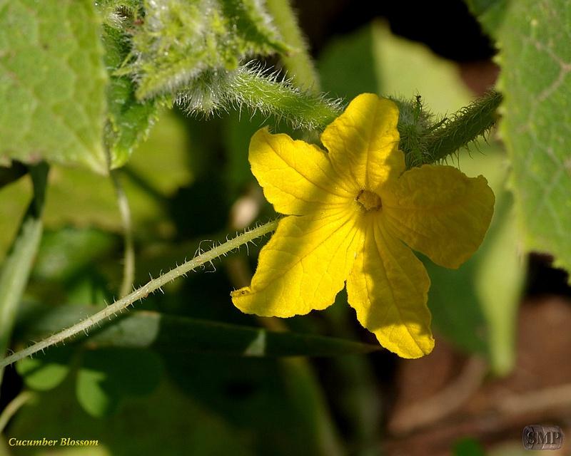 SMP-0068_Blossom-Cucumber