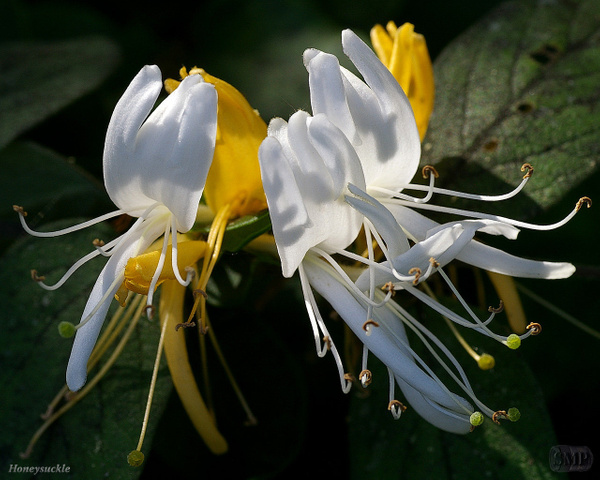 SMP-0074_Honeysuckle by StevePettit