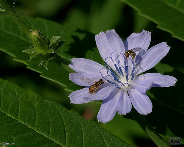 SMP-0080_Chicory by StevePettit