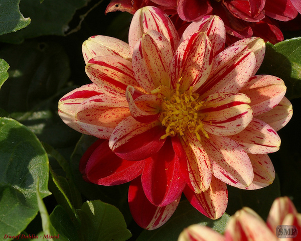 SMP-0084_Dwarf_Dahlia-Mixed by StevePettit