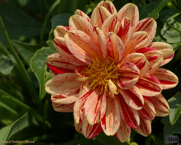 SMP-0085_Dwarf_Dahlia-Mixed by StevePettit