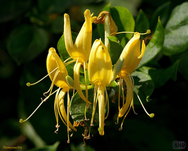 SMP-0095_Honeysuckle by StevePettit