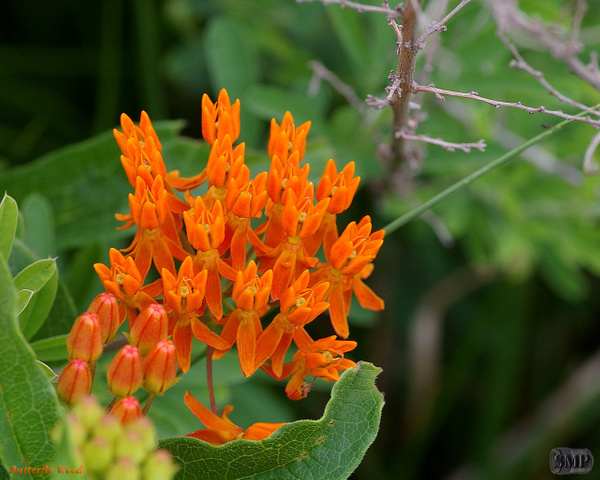 SMP-0103_Butterfly_Weed by StevePettit