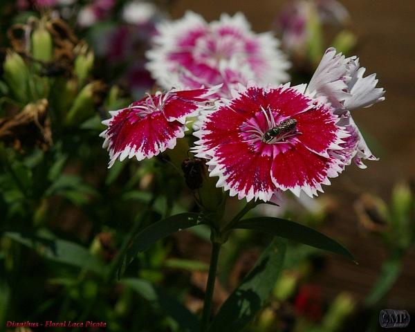 SMP-0102_Dianthus-Floral_Lace_Picote by StevePettit