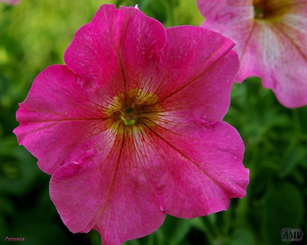 SMP-0104_Petunia by StevePettit