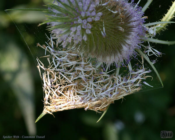 SMP-0140_Spider_Web-Common_Teasel by StevePettit