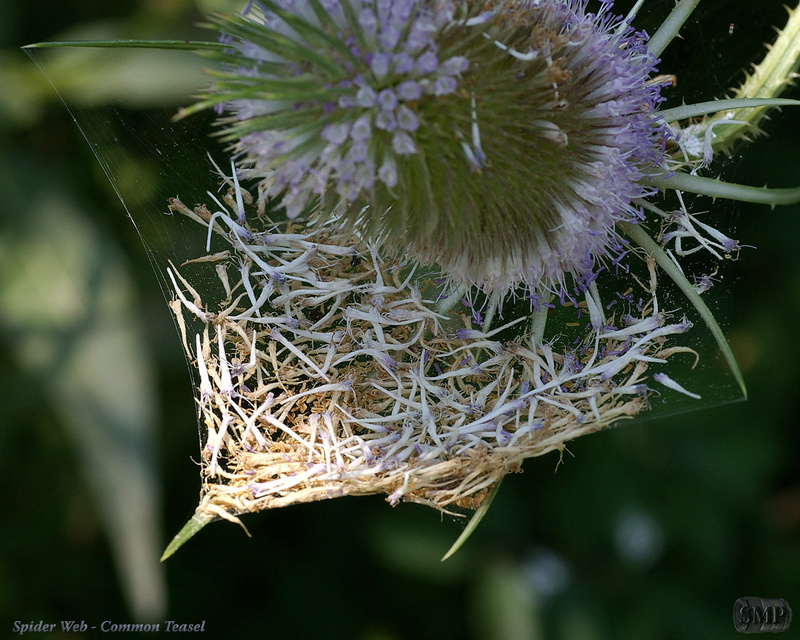 SMP-0140_Spider_Web-Common_Teasel