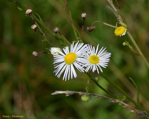 SMP-0143_Daisy-Flebane by StevePettit