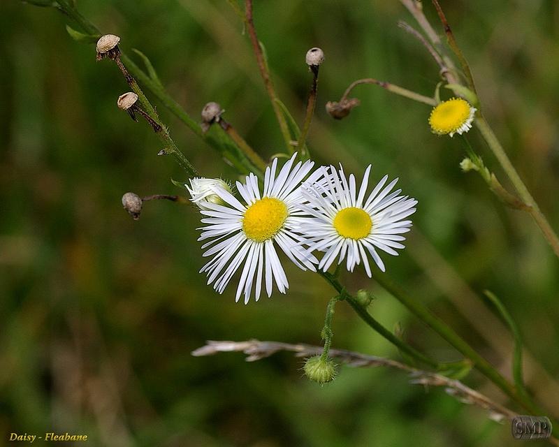 SMP-0143_Daisy-Flebane