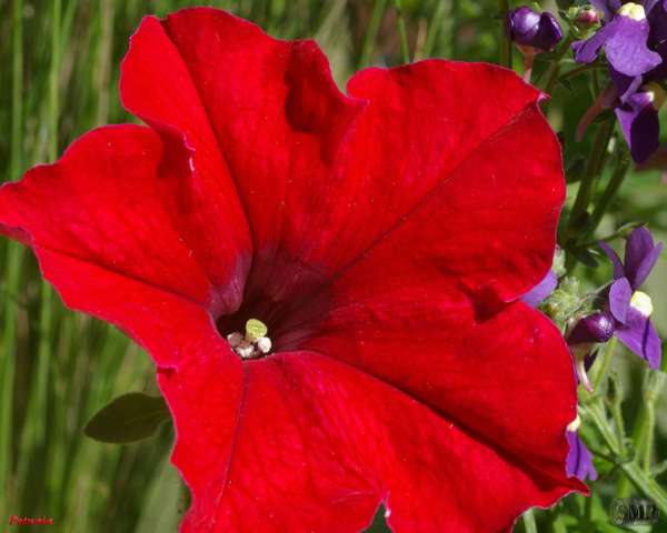 SMP-0108_Petunia by StevePettit