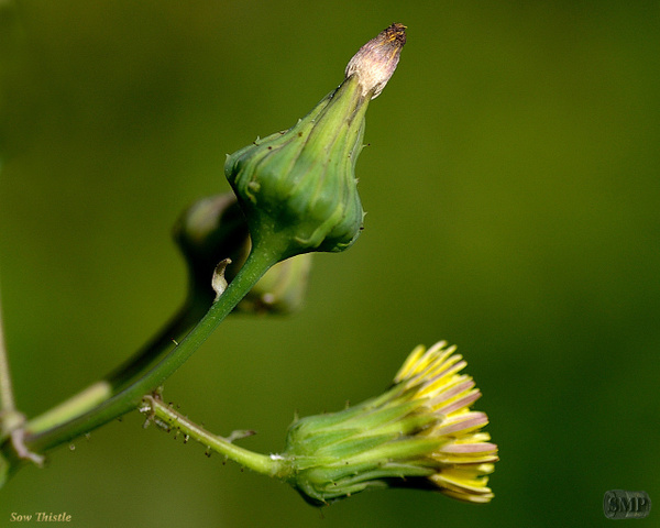 SMP-0115_Thistle-Sow by StevePettit