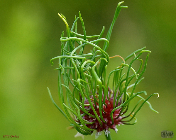 SMP-0121_Wild_Onion by StevePettit