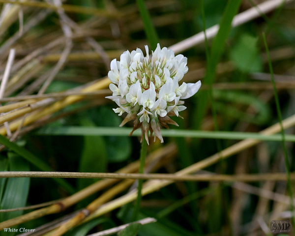 SMP-0122_Clover-White by StevePettit