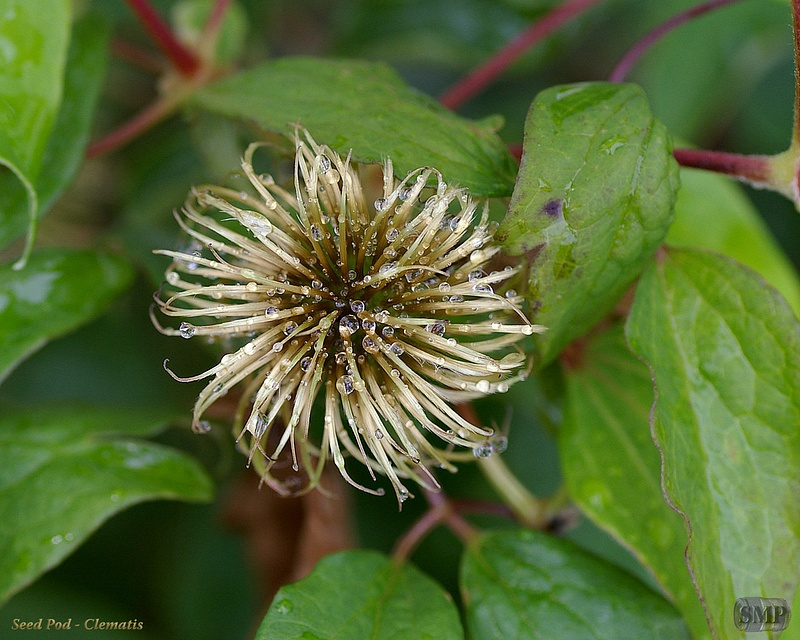 SMP-0123_Seed_Pod-Clematis
