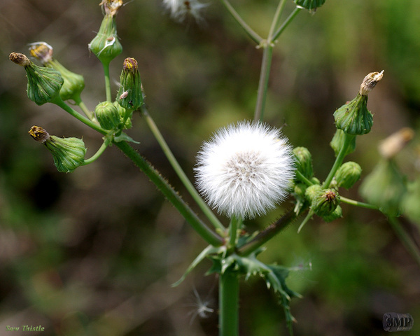 SMP-0125_Thistle-Sow by StevePettit