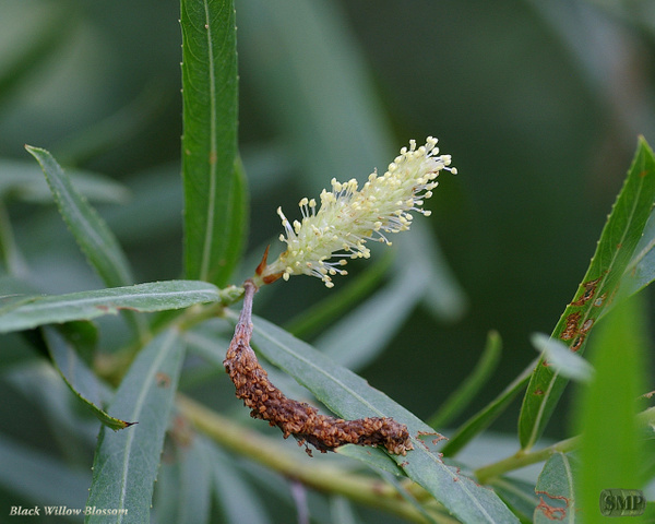 SMP-0126_Blossom-Black_Willow by StevePettit