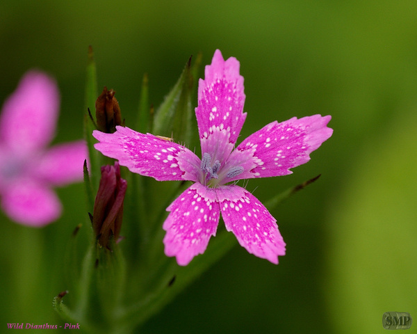 SMP-0128_Dianthus-Wild_Pink by StevePettit