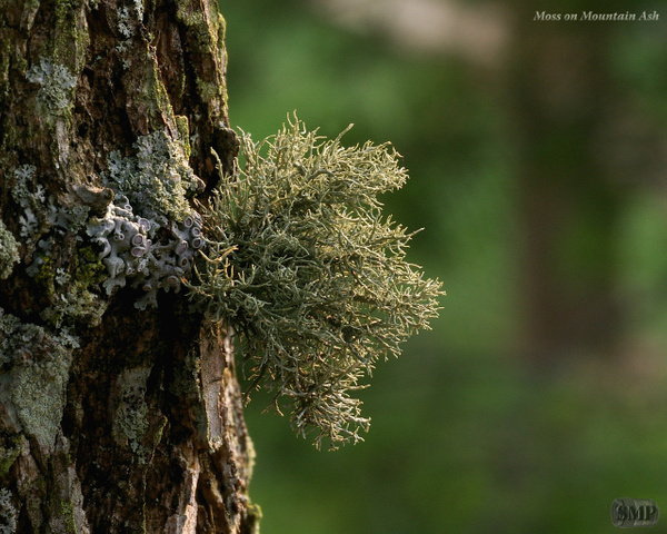 SMP-0130_Moss_on_Mountain_Ash by StevePettit