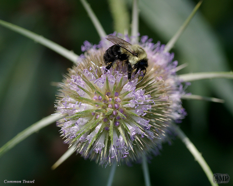 SMP-0131_Common_Teasel
