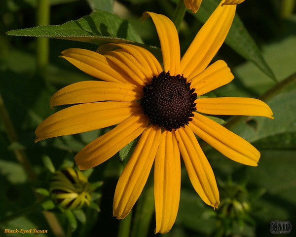 SMP-0132_Black-Eyed_Susan by StevePettit