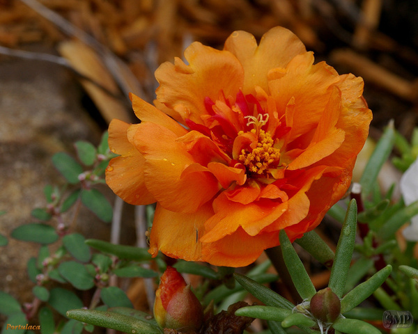 SMP-0133_Portulaca by StevePettit