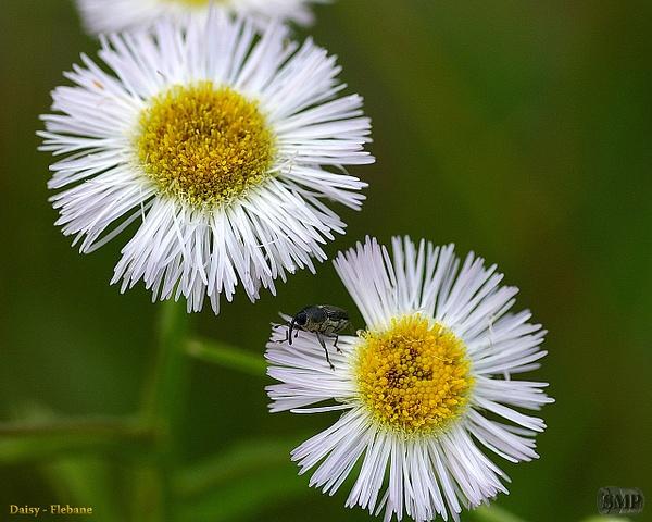 SMP-0174_Daisy-Flebane by StevePettit