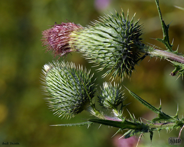 SMP-0179_Thistle-Bull by StevePettit