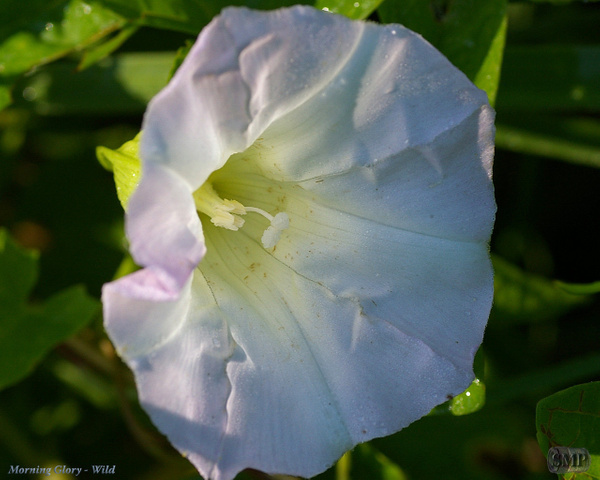 SMP-0181_Morning_Glory-Wild by StevePettit