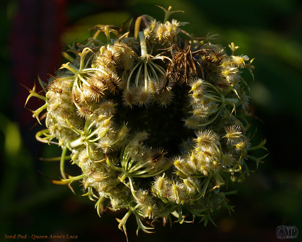 SMP-0190_Seed_Pod-Queen_Annes_Lace by StevePettit