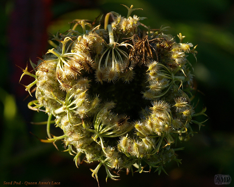 SMP-0190_Seed_Pod-Queen_Annes_Lace