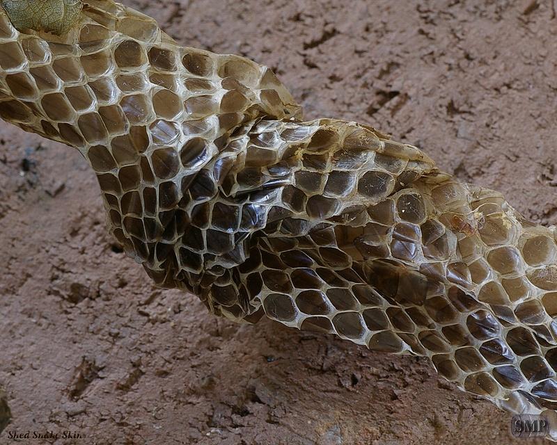 SMP-0195_Shed_Snake_Skin