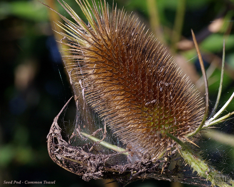 SMP-0199_Seed_Pod-Common_Teasel