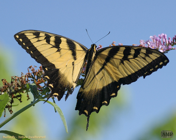 SMP-0168_Butterfly-Yellow_Swallowtail by StevePettit