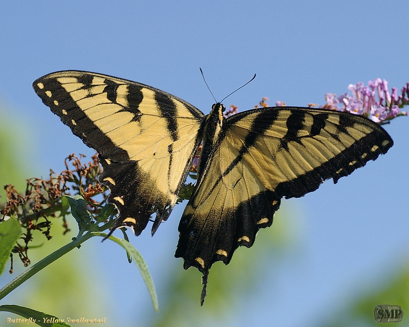 SMP-0168_Butterfly-Yellow_Swallowtail
