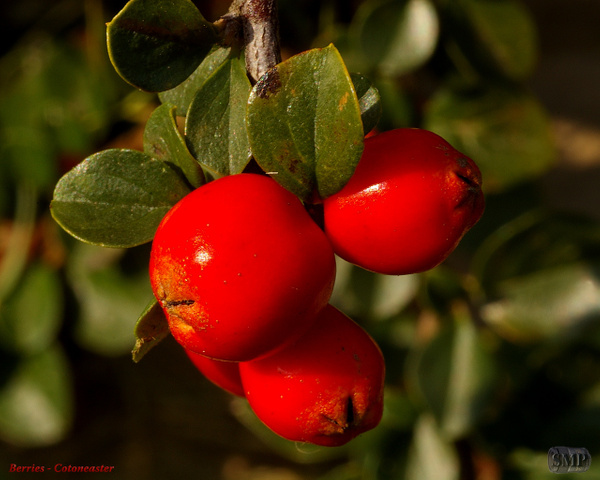 SMP-0203_Berry-Cotoneaster by StevePettit
