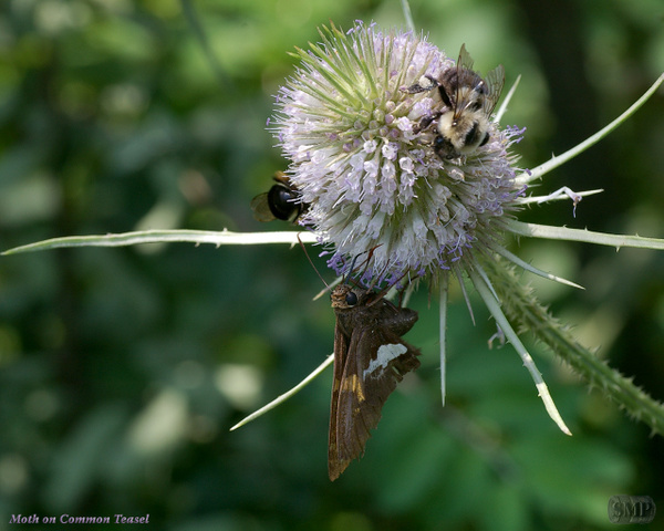 SMP-0231_Moth_on_Common_Teasel by StevePettit