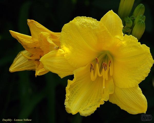 SMP-0235_Daylily-Lemon_Yellow by StevePettit
