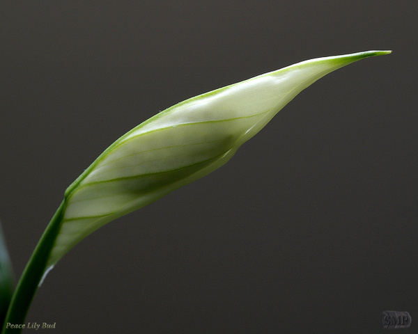 SMP-0241_Bud-Peace_Lily- by StevePettit