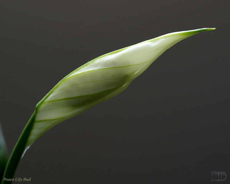 SMP-0241_Bud-Peace_Lily-