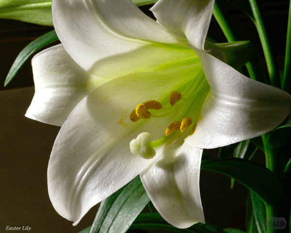 SMP-0243_Lily-Easter by StevePettit