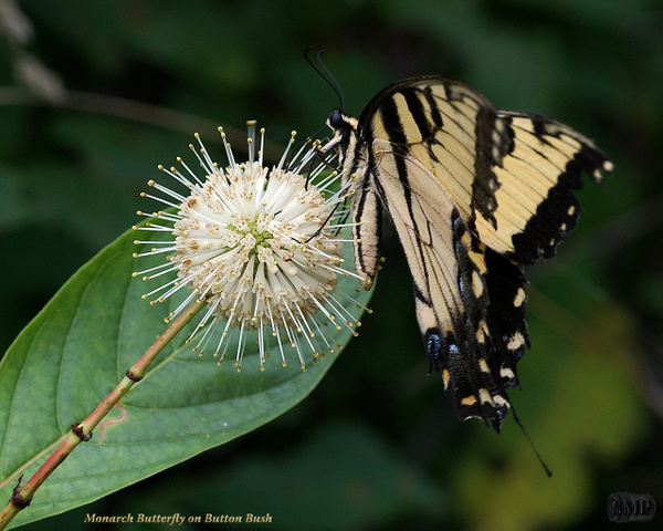 SMP-0246_Monarch_Butterfly_on_Button_Bush by StevePettit