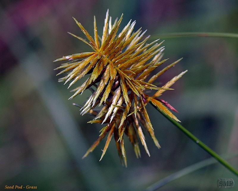 SMP-0247_Seed_Pod-Grass