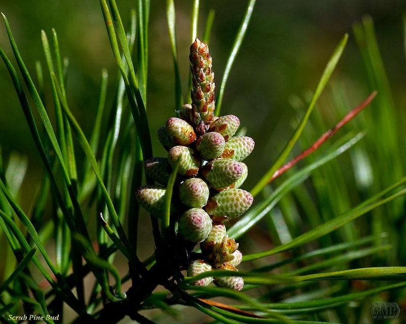SMP-0249_Bud-Scrub_Pine