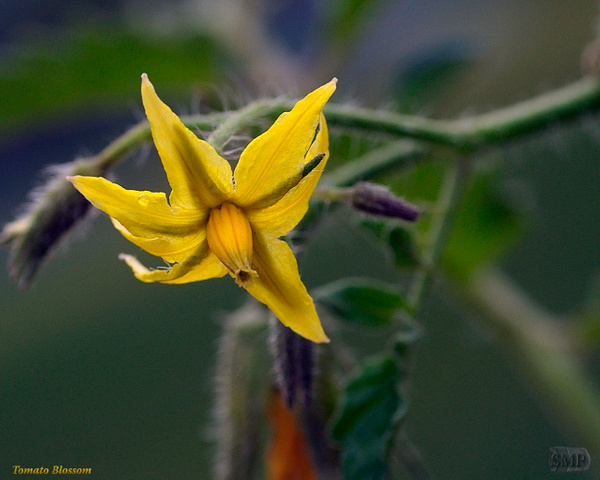SMP-0252_Blossom-Tomato by StevePettit