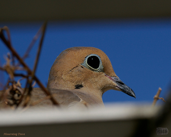 SMP-0262_Mourning Dove by StevePettit