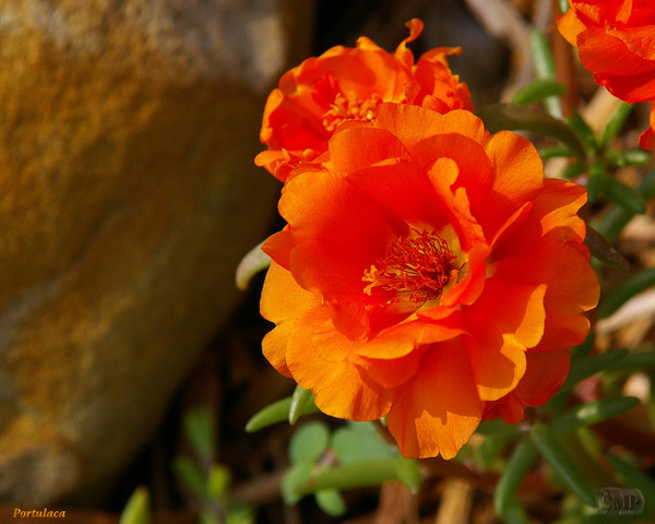 SMP-0273_Portulaca by StevePettit