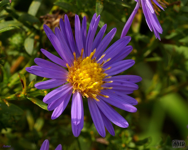 SMP-0207_Aster by StevePettit